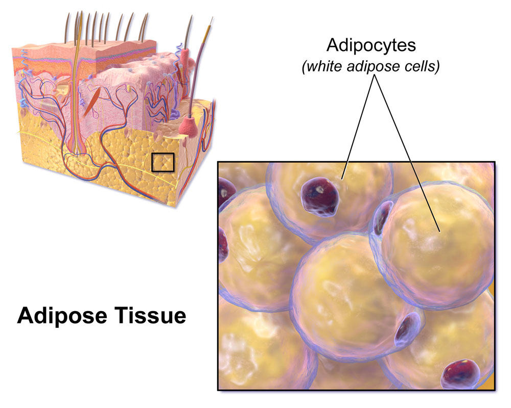 Subcutaneous Adipose tissue, courtesy of Wikipedia
