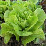 Lettuce fiber